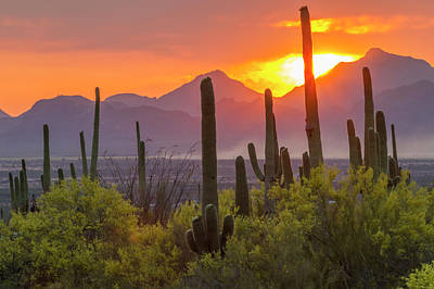Saguaro Cactus Photograph - Usa, Arizona, Saguaro National Park by Jaynes Gallery