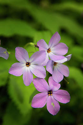 Phlox Photograph - Usa, Tennessee, Great Smoky Mountains by Jaynes Gallery