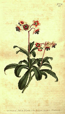 Closeup Drawing - Botanical Print By Sydenham Teast Edwards 1768 – 1819 by Quint Lox