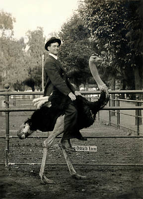 Ostrich Photograph - 1910 Ostrich Ride  by Historic Image
