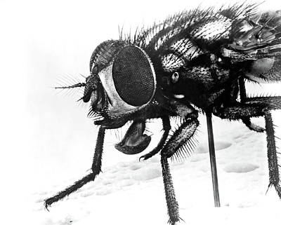 Bug Eyes Photograph - 1940s Extreme Close-up Of House Fly by Vintage Images