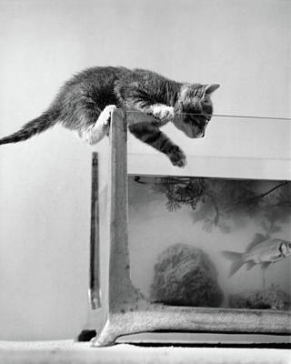 Goldfish Photograph - 1940s Tabby Cat Kitten Climbing by Vintage Images