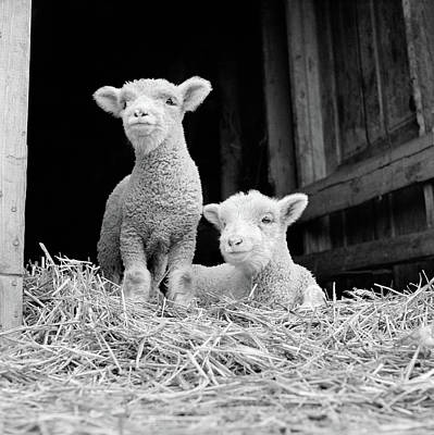 1950s 1960s Two Baby Lambs On Straw Art Print