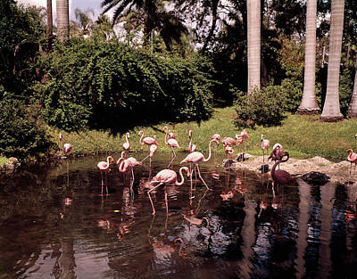 Flamingos Photograph - 1950s A Flamboyance Flurry Regiment by Vintage Images