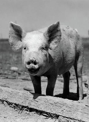 Pig Photograph - 1950s Close-up Of Chester White by Vintage Images
