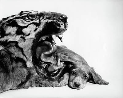 Large Cats Photograph - 1950s Funny Image Of Cocker Spaniel by Vintage Images