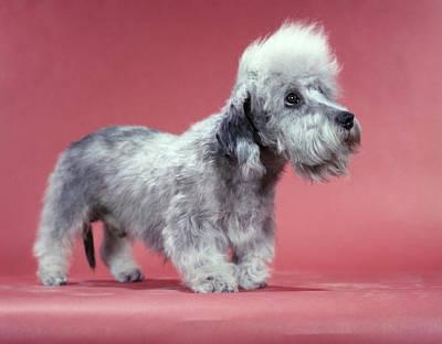 Scottish Terrier Wall Art - Photograph - 1950s Profile Comical Dandie Dinmont by Vintage Images
