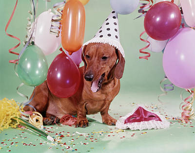 1960s Dachshund Wearing Party Hat Tired Art Print