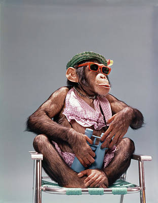 Lawn Chair Photograph - 1960s Female Chimpanzee Wearing Summer by Vintage Images