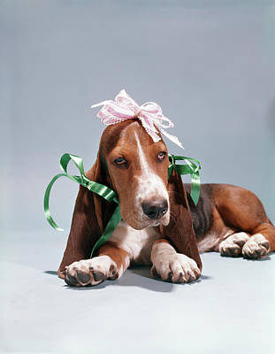 Elmer Photograph - 1960s Funny Hound Dog Wearing Ribbon by Vintage Images