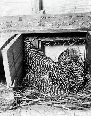 Chicks And Hens Photograph - 1960s Hen Sitting On Nest In Chicken by Vintage Images