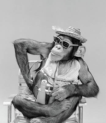 Ape Photograph - 1960s Monkey Chimpanzee Wearing Hat by Vintage Images