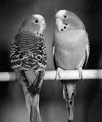 Parakeet Photograph - 1960s Pair Of Parakeets Perched by Vintage Images