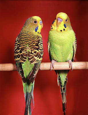 Parakeet Photograph - 1960s Pair Of Two Yellow Green by Vintage Images