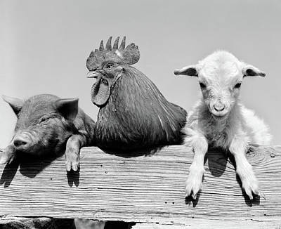 Rooster Photograph - 1960s Piglet Rooster Lamb Trio Leaning by Vintage Images