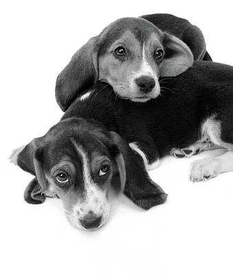 Beagle Photograph - 1960s Two Adorable Sad Eyed Beagle by Vintage Images