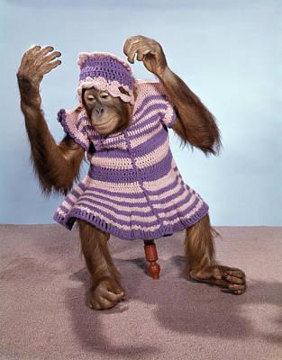 1960s Young Orangutan In Knit Dress Art Print