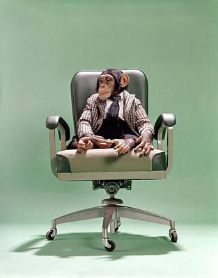 1970s Chimpanzee Sitting On Office Chair Art Print
