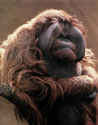 Orangutan Wall Art - Photograph - 1970s Mature Adult Orangutan Pongo by Vintage Images