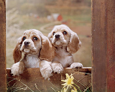 Farm In Woods Photograph - 1970s Two Cocker Spaniel Puppies by Vintage Images