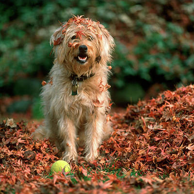 Fall Colors Wall Art - Photograph - 1980s Shaggy Beige And White Dog by Vintage Images