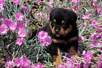 Rottweiler Photograph - 1990s Rottweiler Puppy Dog Sitting by Vintage Images