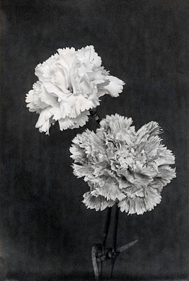 Photograph - 19th C. Carnations  by Historic Image