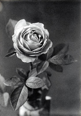 Photograph - 19th C. Photographic Study Of A Rose by Historic Image