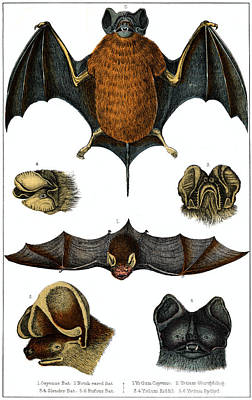 Painting - 19th C. Species Of Bat by Historic Image
