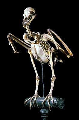 Buzzard Wall Art - Photograph - 19th Century Buzzard Skeleton by Patrick Landmann/science Photo Library