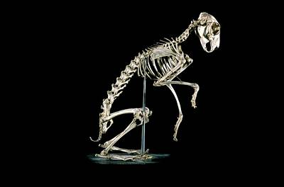 European Hare Wall Art - Photograph - 19th Century Hare Skeleton by Patrick Landmann/science Photo Library