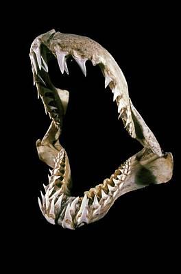 19th Century Shark Jaw Art Print by Patrick Landmann/science Photo Library