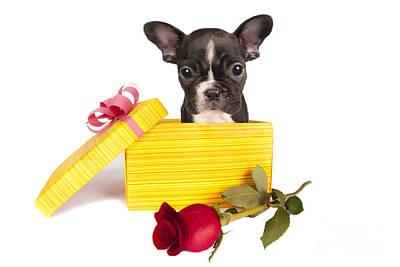 Adorable French Bulldog Puppy Photograph -  French Bulldog Puppy by Borislav Stefanov