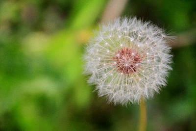 Photograph - A Dandy Dandelion by Mary Buck