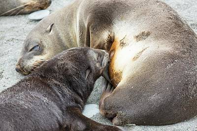 Caring Mother Photograph - A Female Antarctic Fur Seal by Ashley Cooper