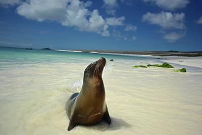 Photograph - A Galapagos Sea Lion, Zalophus by Enrique Calvo Ramiro