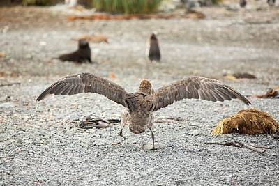 Gaiting Photograph - A Southern Giant Petrel by Ashley Cooper