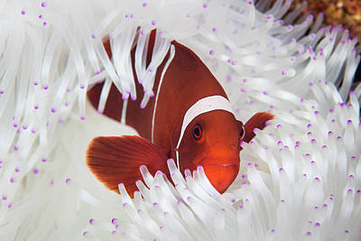 A Spine-cheeked Anemonefish Swims Among Art Print
