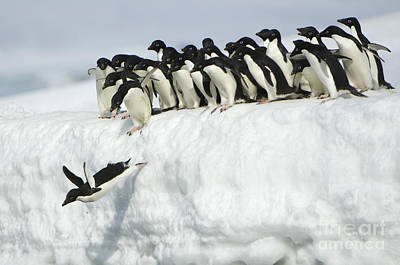 Photograph - Adelie Penguin Leaping Into Ocean by John Shaw
