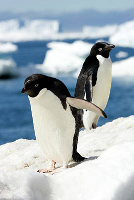 Adelie Penguins Art Print by William Ervin/science Photo Library