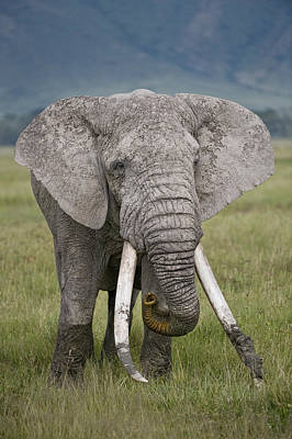 Animals Photograph - African Elephant Loxodonta Africana by Panoramic Images