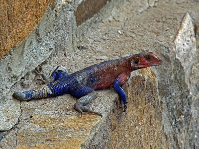 Photograph - Agama Lizard by Tony Murtagh