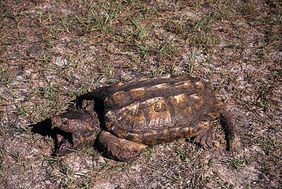 Photograph - Alligator Snapping Turtle by Karl H. Switak