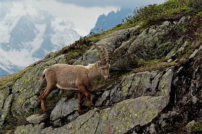 French Horn Photograph - Alpine Ibex by Duncan Shaw