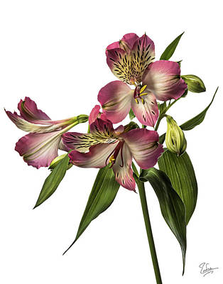 Photograph - Alstroemeria by Endre Balogh