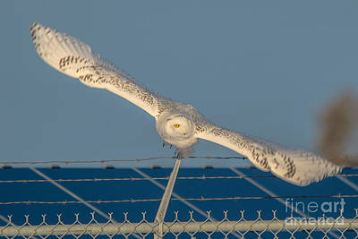 Photograph - Amazing Wingspan by Cheryl Baxter