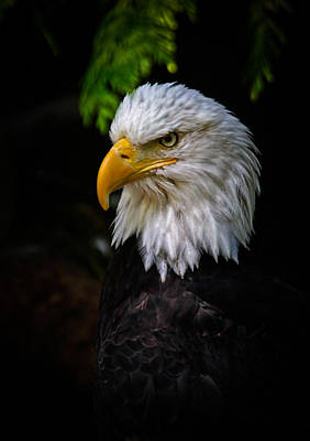 Photograph - American Bald Eagle by Athena Mckinzie