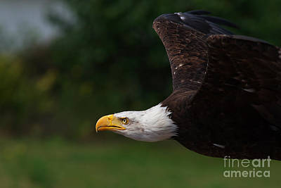 Photograph - American Bald Eagle In Flight by Nick  Biemans