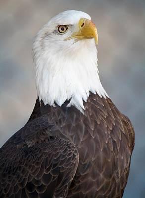 American Bald Eagle Art Print by Paulette Thomas