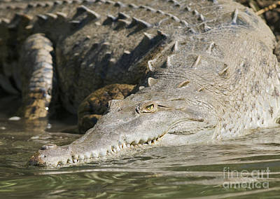 Photograph - American Crocodile by Dan Suzio